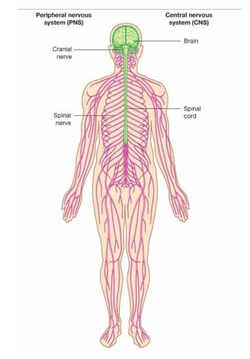 Nervous Systems Define At The Definition